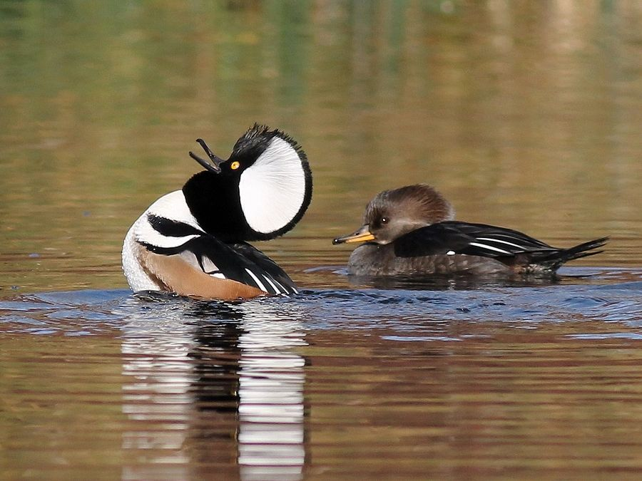 Hooded Merganser Ducks | Duck species, Birds