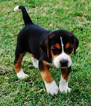 Hamilton Hound Price Temperament Life Span Hound Puppies Dog Breeds Foxhound Puppy