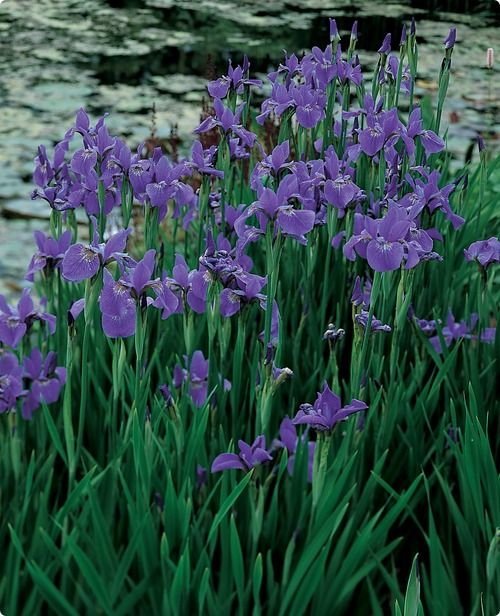 Siberian Iris.. blooms mid-late spring, looks like ornamental grass when finished blooming