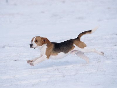 Beagle Running Beagle Running Through...
