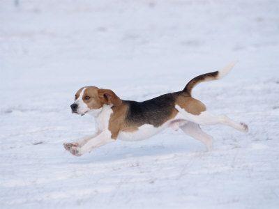 Beagle Running Through Snow Usa 9x12 Photographic Print Beagle