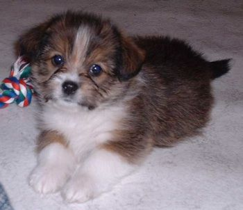Shorgi Shih Tzu X Corgi Hybrid Dogs Corgi Dog Breeds