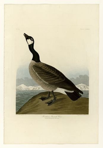 Pin On Audubon Prints