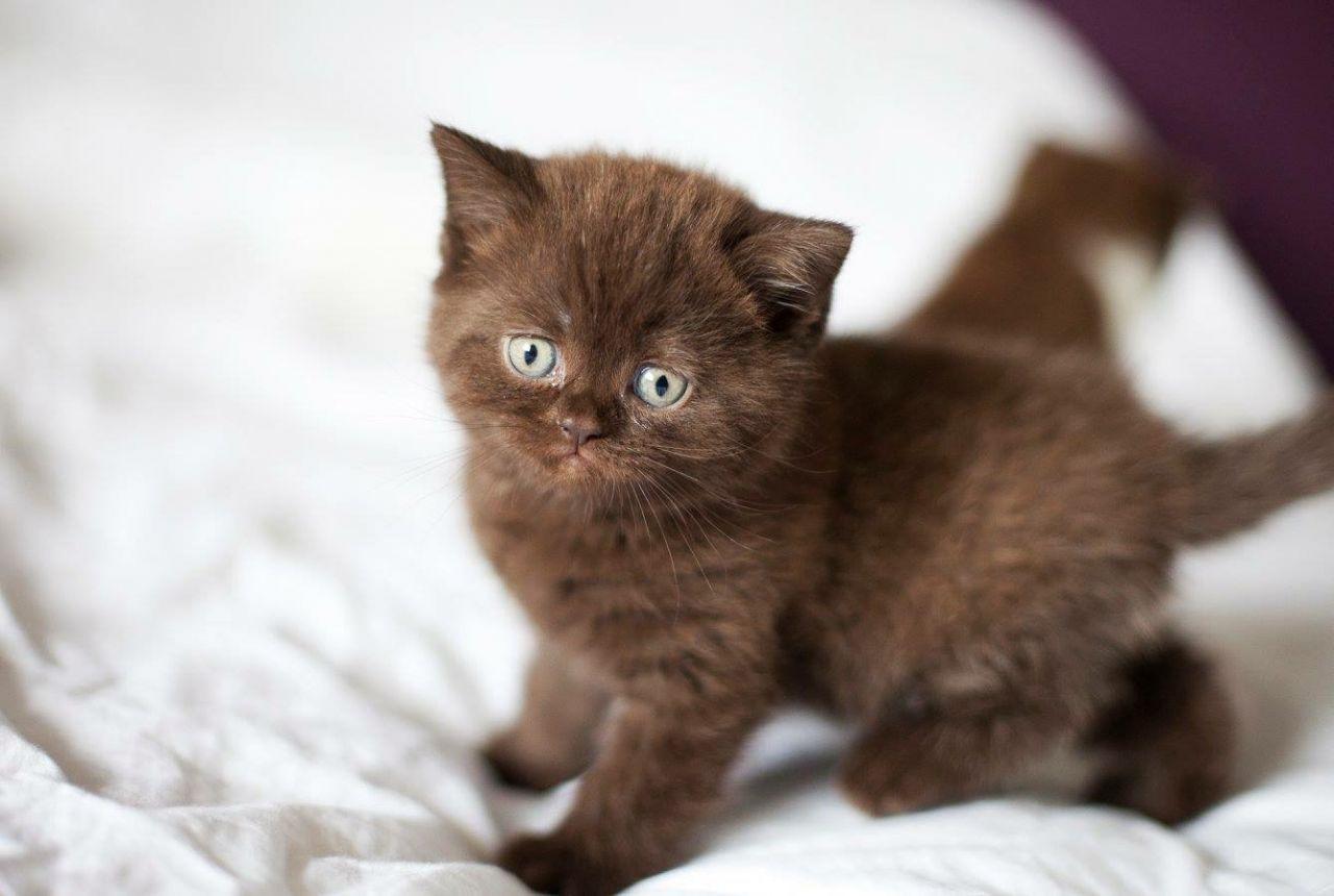 Rare Chocolate British Shorthair Kitten I Love This Kitten Cute Cats Photos Cute Baby Cats Cuddly Animals