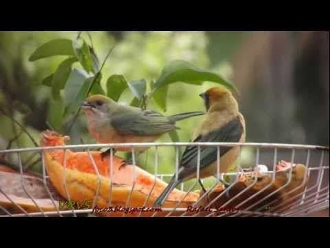 Comedouro para pássaros livres (frutas)