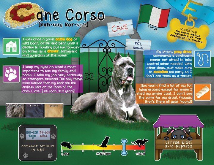 Cane Corso Cane Corso Cane Corso Italian Mastiff Cane Corso Dog