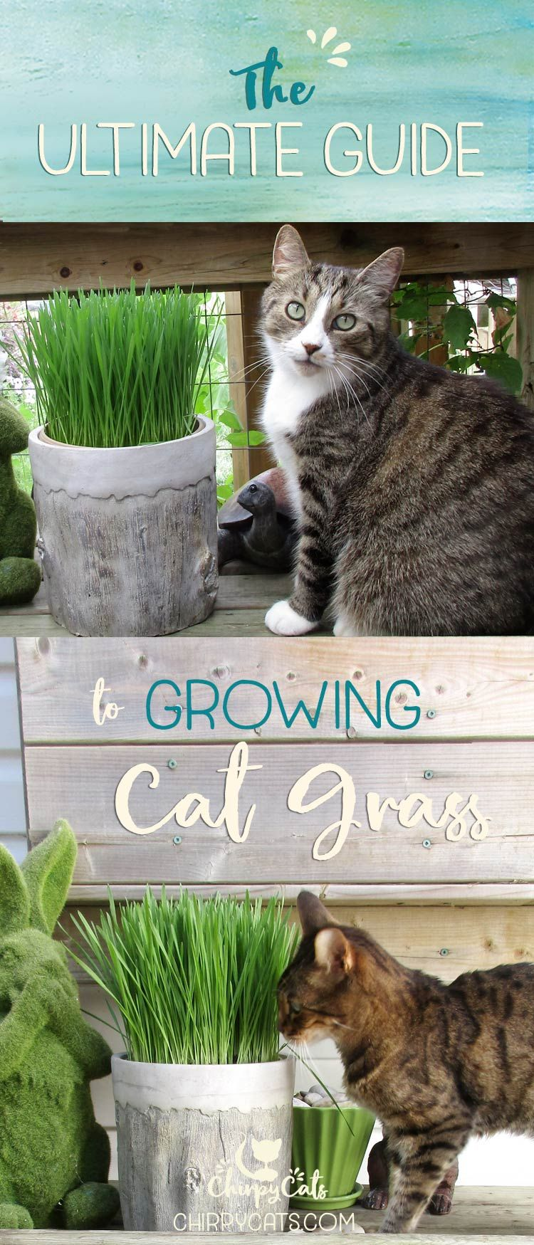 The ultimate guide to growing cat grass Cat grass indoor