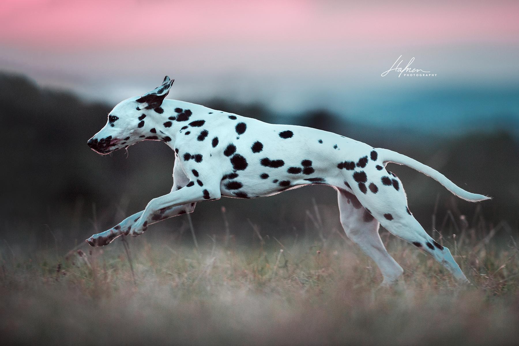 Dalmatiner Springt Uber Die Wiese Hundefotografie Pferde Fotografie Hunde