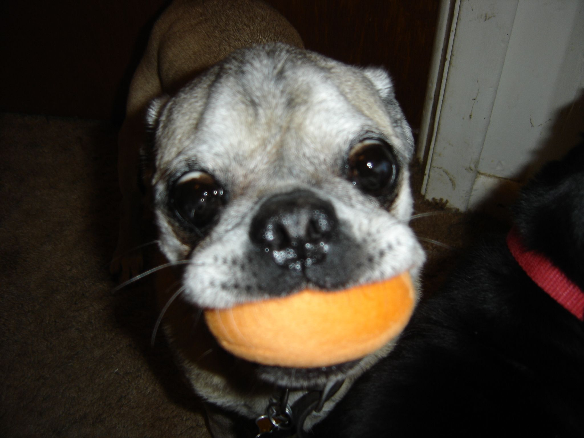Pug Eggs For Sale We Will Be Having A Christmas In July Sale On