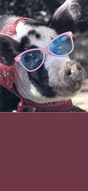 Free Cute Pet & Animal Stationery for Facebook, Twitter and Email - Pig, Sunglasses, Humor, Humorous, Funny.