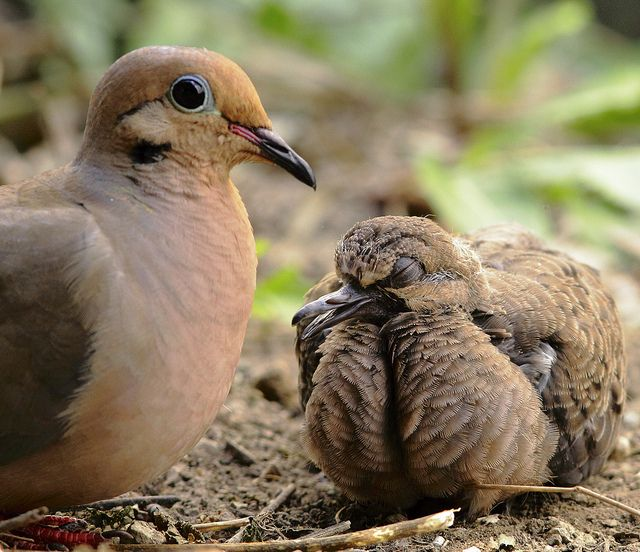 Mother and Baby Mourning Dove | Birds of a Feather