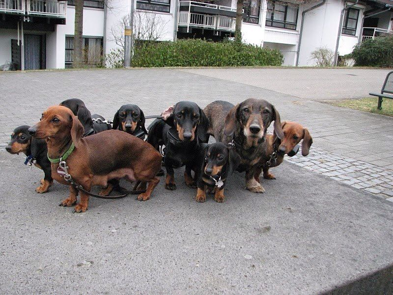 Never Too Many Need More Dachshund Lovers Real Dog Weiner Dog