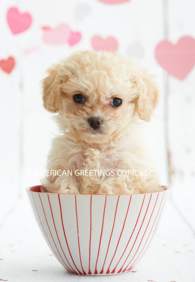 Happy valentines day american greetings greeting cards puppy happy valentines day american greetings greeting cards puppy hearts poodle kristyandbryce Choice Image