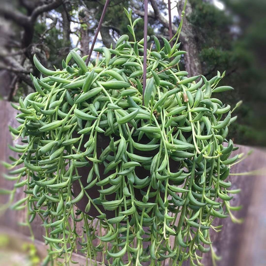 Senecio string of bananas succulents succulents planting