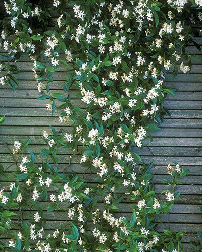 Florida Ground Cover Full Sun: Star Jasmine (Trachelospermum Jasminoides) Can Be Grown As