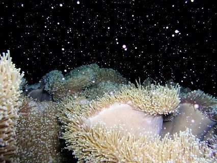 An Annual Coral Spawning Takes Place On The Great Barrier Reef Australia Every Year About 4 5 Days After The Full Moon In With Images Great Barrier Reef Hard Coral Coral