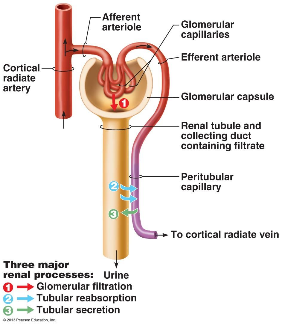 Pathway Glomerular Filtration Tubular Reabsorption Secretion