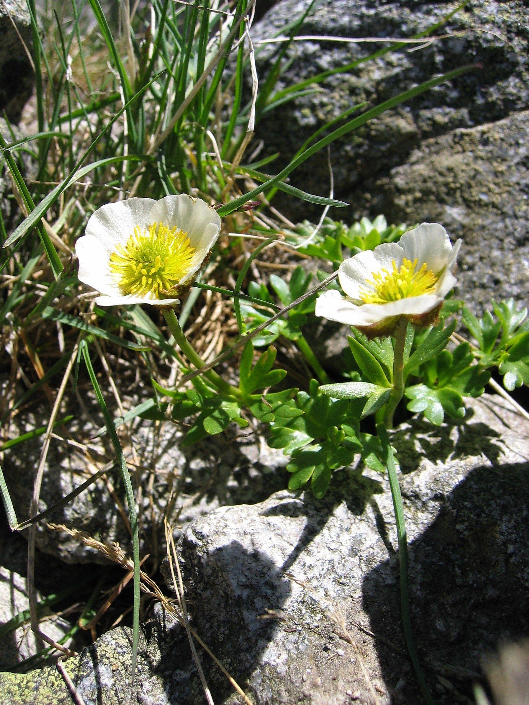 Ranunculus Wikipedia Plant Leaves Plants Ranunculus