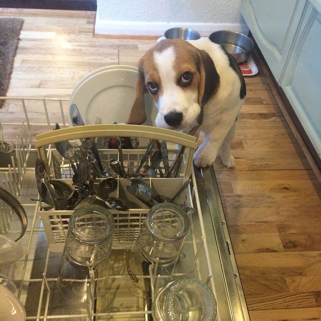 Pin de DAVID Thomas en Beagle puppies | Pinterest | Perro beagle y ...