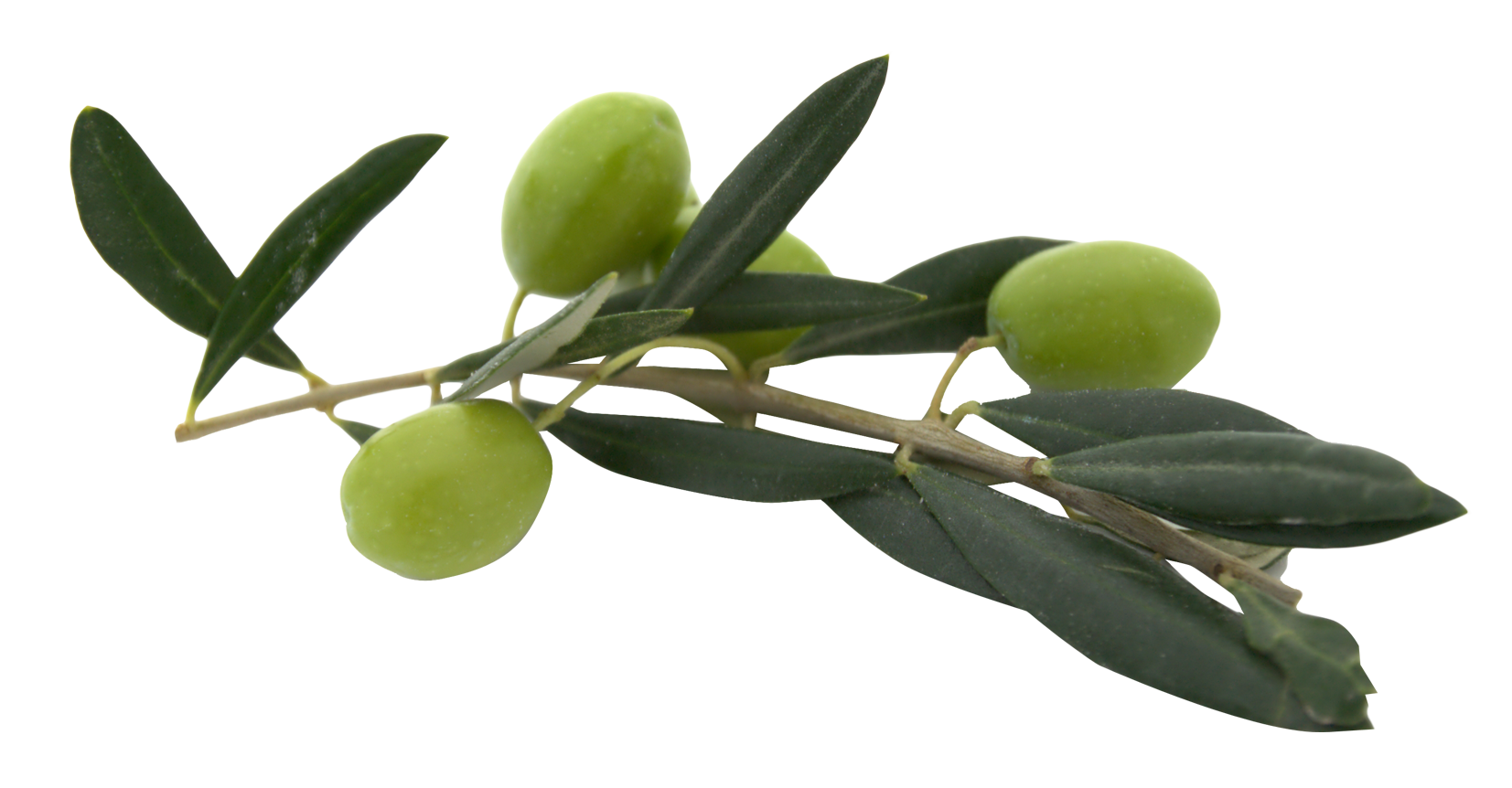 Olive With Leaves Olive Image Plant Leaves