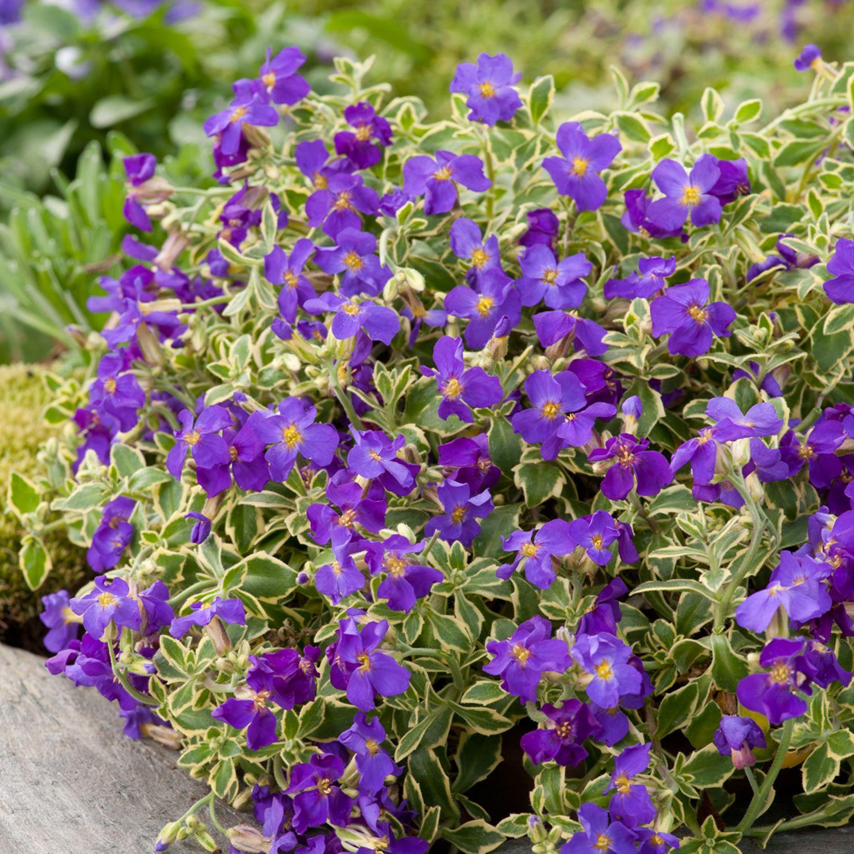 Variegated Aubrieta Alpine Plants Variegated Plants