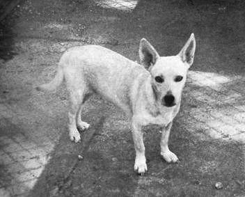 Hawaiian Poi Dog From Jack L Throp S Program C 1969 Hawaiian Poi Dog Wikipedia Dog Breed Info Dog Breeds Dogs