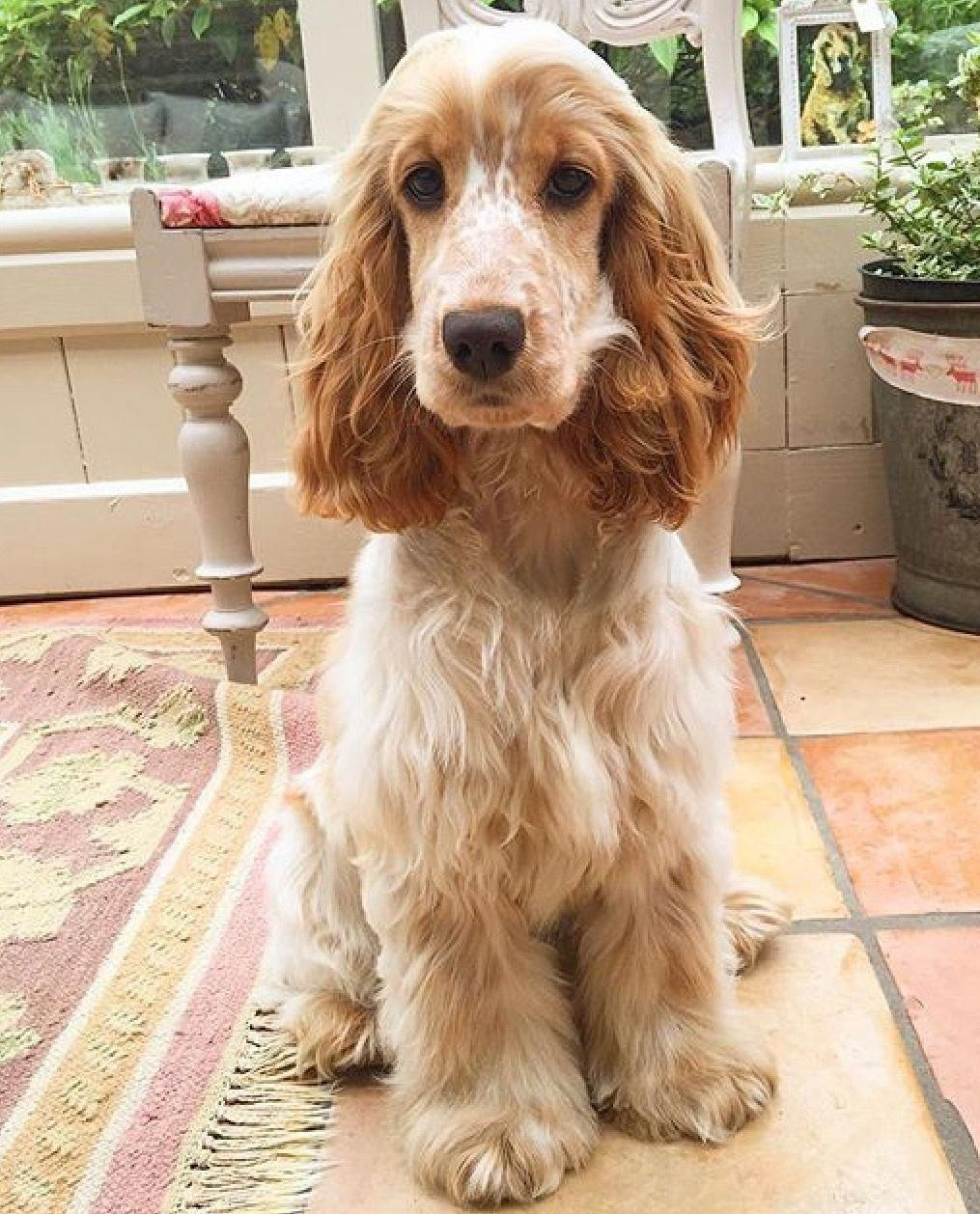 Exceptional Spaniel Puppies Information Is Offered On Our