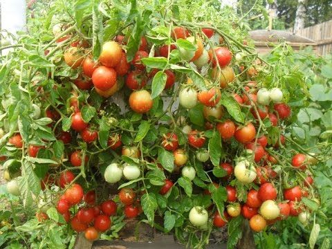Как посадить ПОМИДОРЫ  в открытый грунт