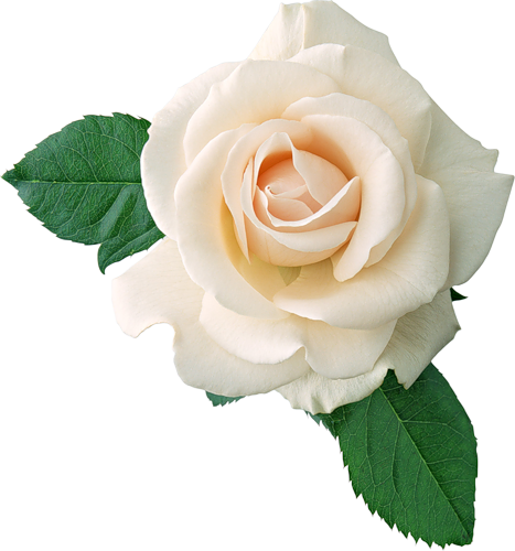 Real White Rose Clipart Gallery Yopriceville High Quality