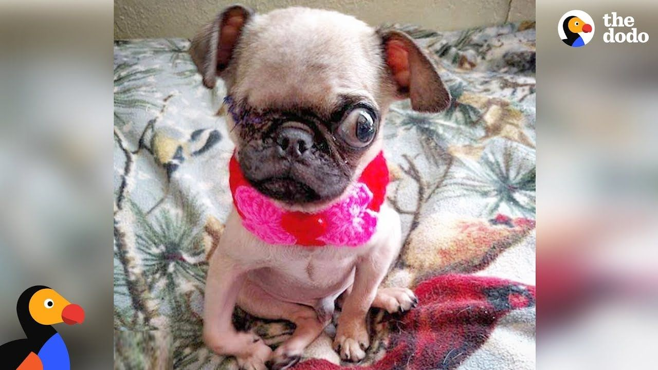 Sick Pug Puppy Rescued Thanks To Dog Loving Community The Dodo