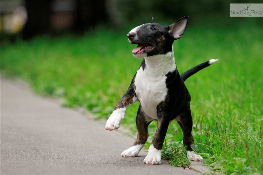 Battista Bull Terrier Puppy For Sale Near Moscow Russian