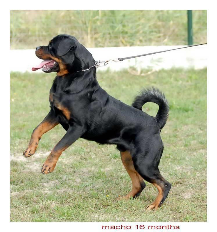 Beautiful Rottie With A Tail 3 Dog Breeds Rottweiler Rottie