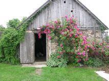 John Cabot Rose #kletterpflanzenwinterhart John Cabot Rose #kletterpflanzenwinterhart John Cabot Rose #kletterpflanzenwinterhart John Cabot Rose #kletterpflanzenwinterhart