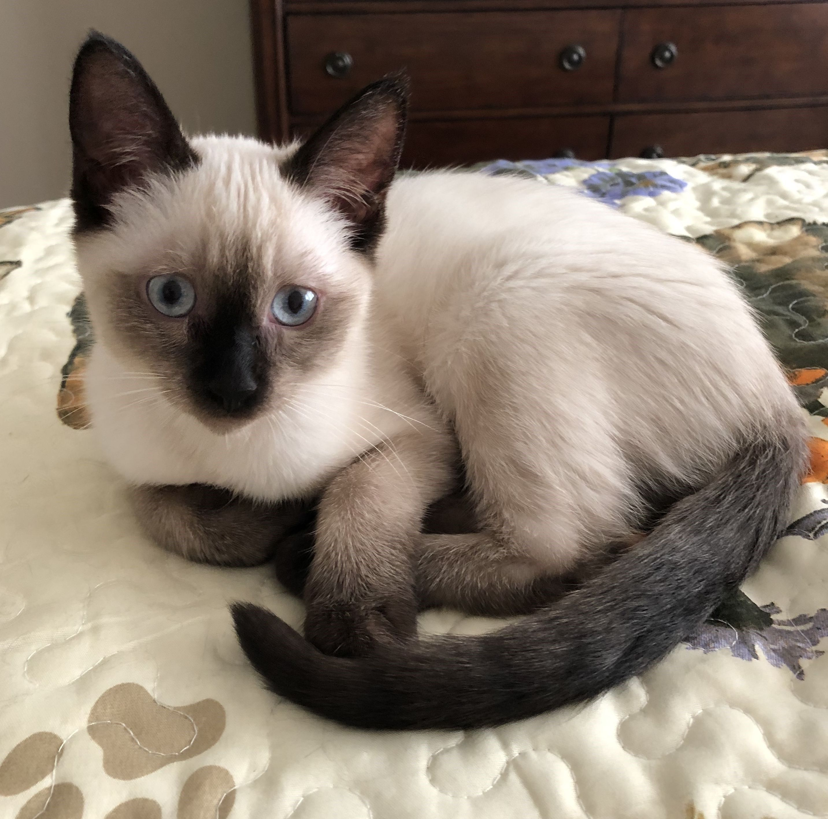 My Web Link Is Safe Don T Click If It S Not My Url If You Have Cats This Is For You Pls Click Or Go To Litters Siamese Cats Facts Siamese Cats
