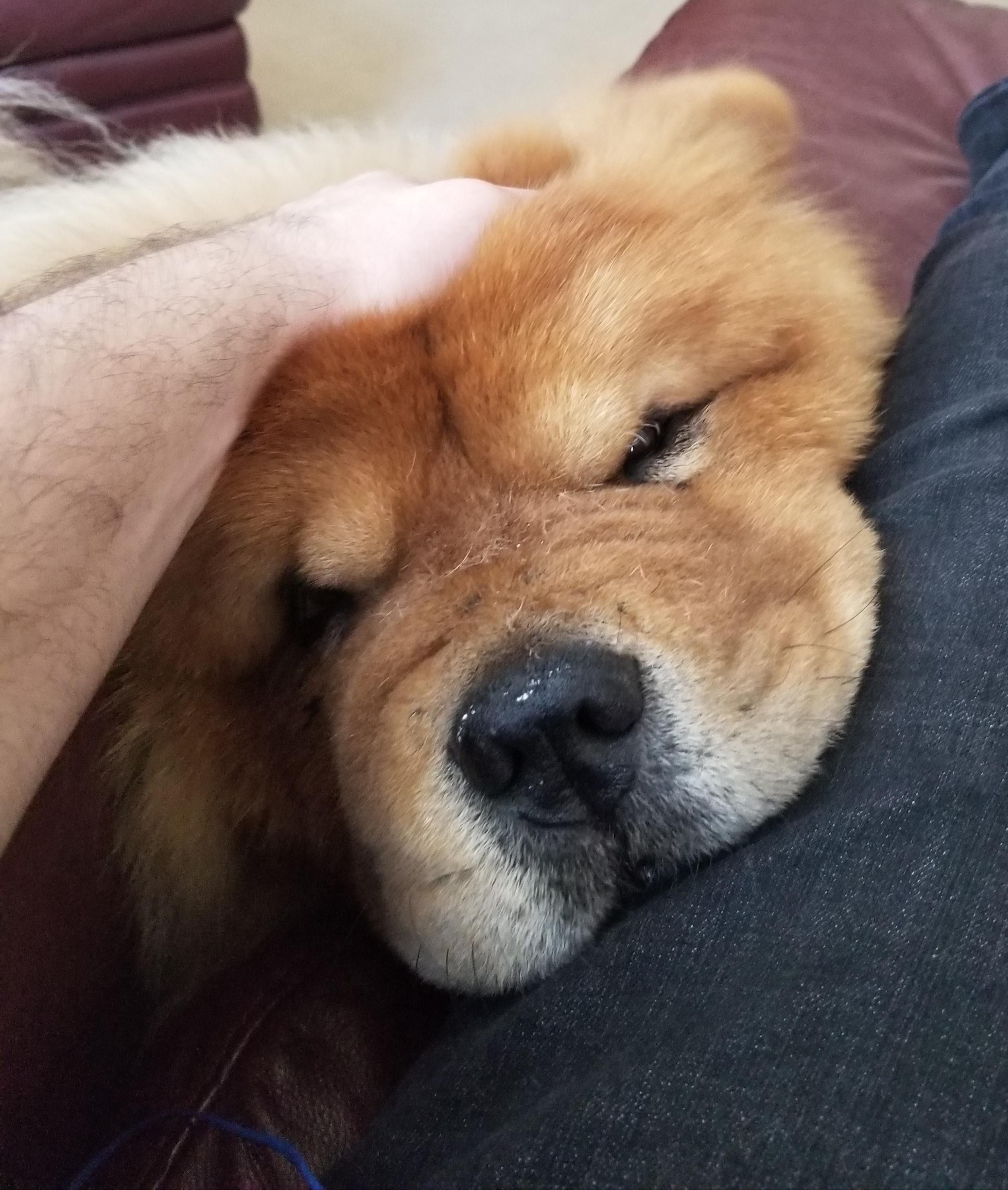 Chow Chow Wants Attention Dogpictures Dogs Aww Cuteanimals