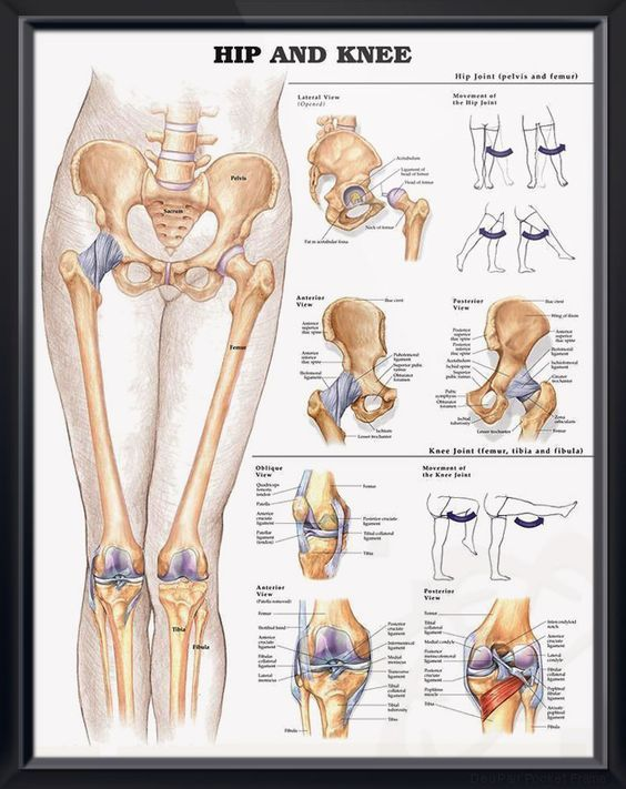 hip and knee anatomy poster | skeletal system, anatomy and medical, Skeleton