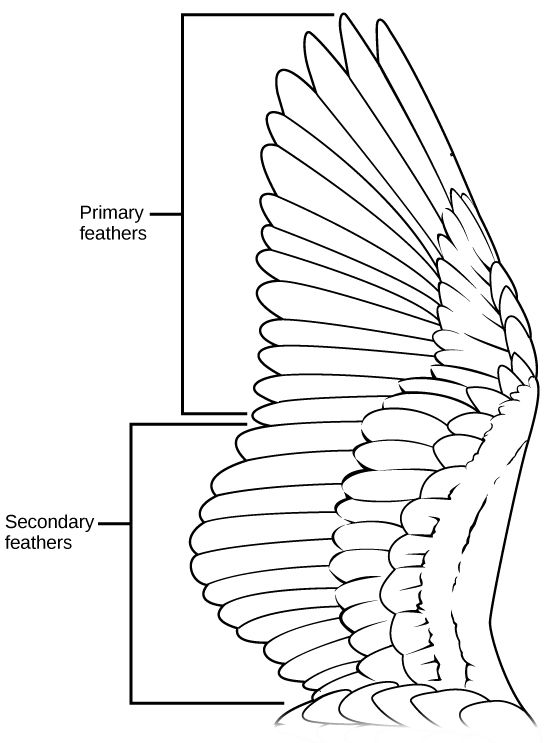 Image result for anatomy of bird wing feathers | wing anatomy ...