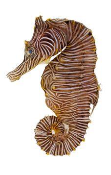 zebra seahorse (Hippocamus zebra)