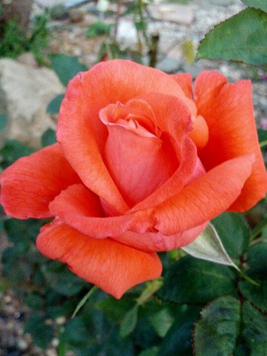 Rose 'Arizona'