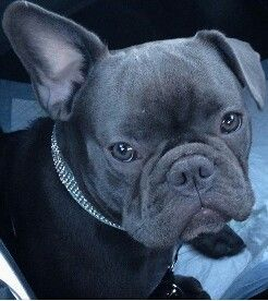 This Ear Never Goes Down See Adorable Blue French Bulldog