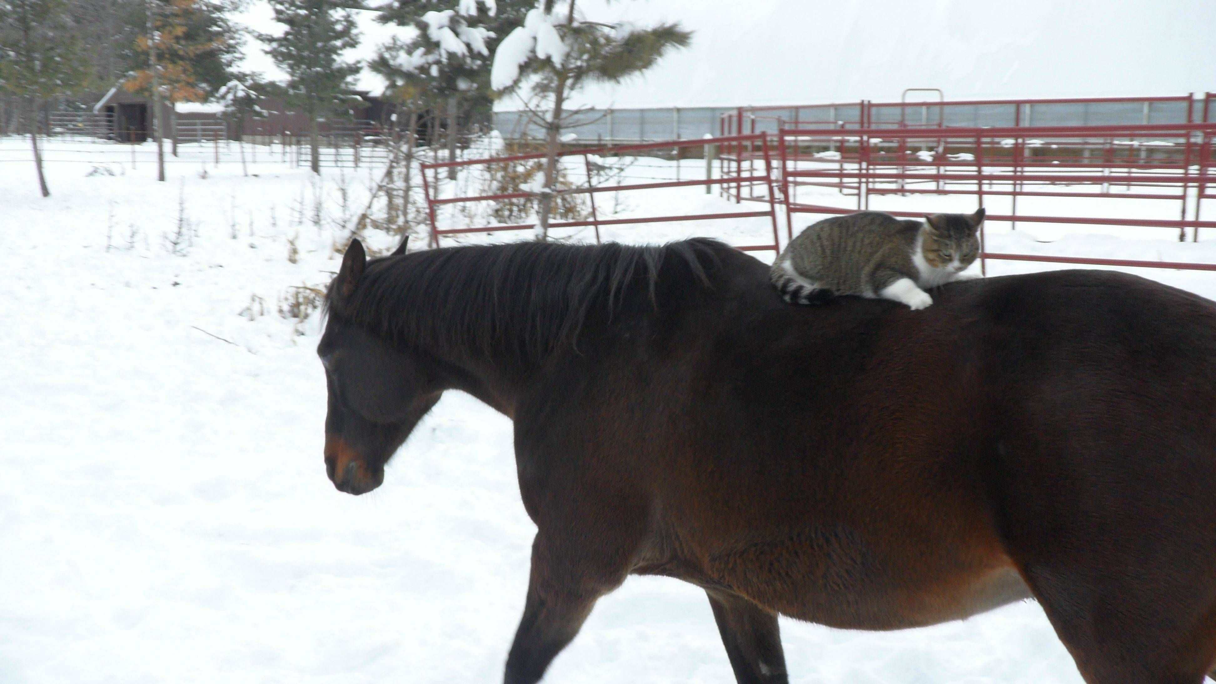 barn cat taking a ride on a horse Horses, Animals, Cats
