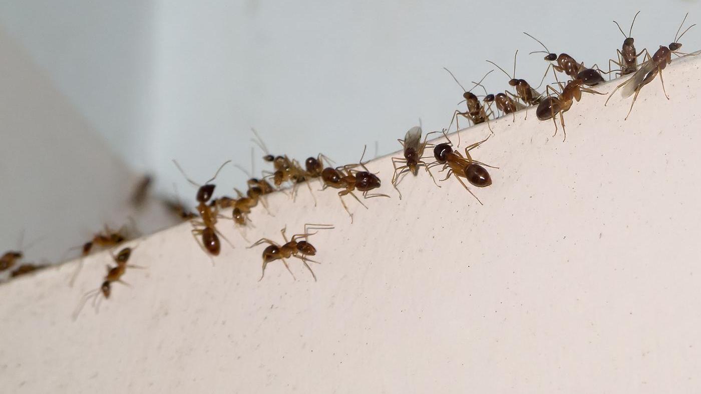 Tipps gegen Ameisen im Haus. (Quelle: Thinkstock by Getty-Images)