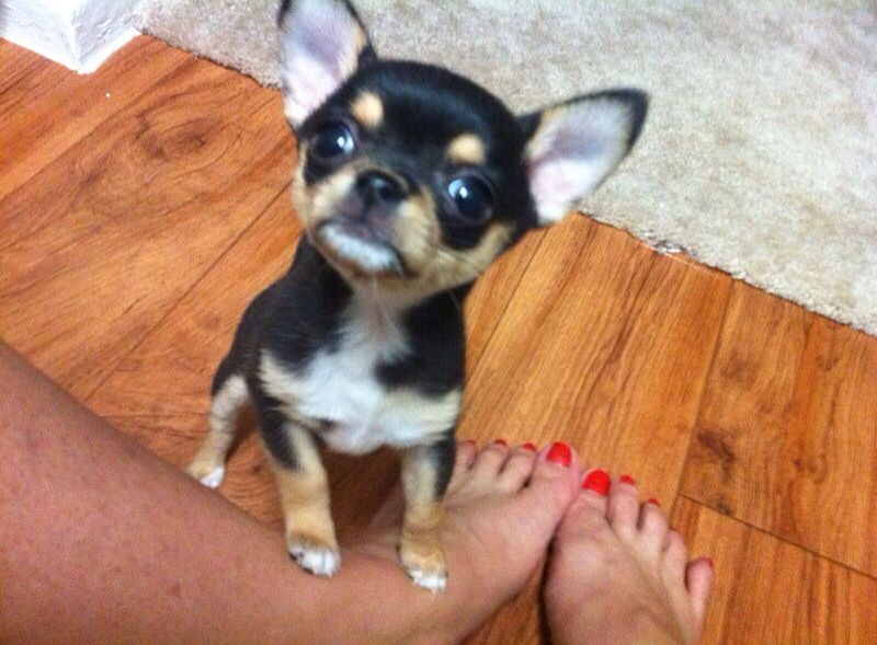 Oh My So Cute Teacup Chihuahua Puppies Chihuahua Puppies