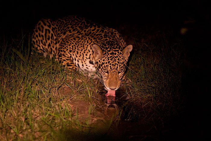 What Is The Difference Between A Jaguar And A Leopard? As Guides We Often  Get Asked What The Difference Is Between A Leopard And A Jaguar.