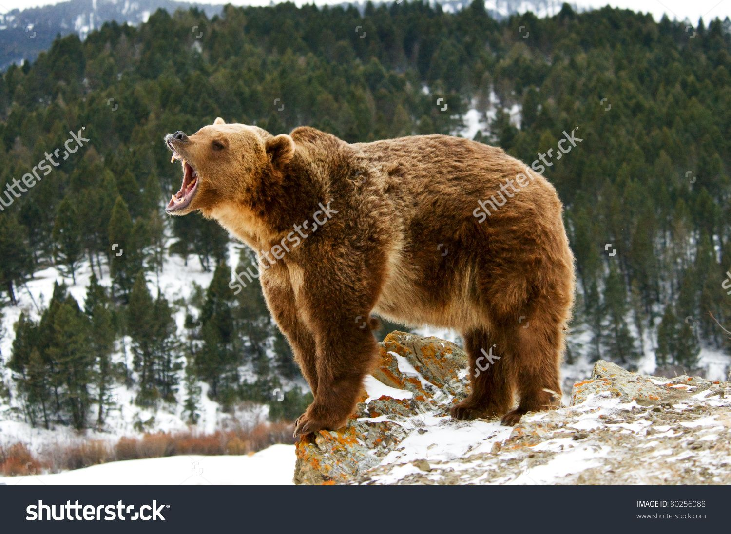 stock-photo-grizzly-bear-growling-on-snowy-cliff-80256088.jpg ...