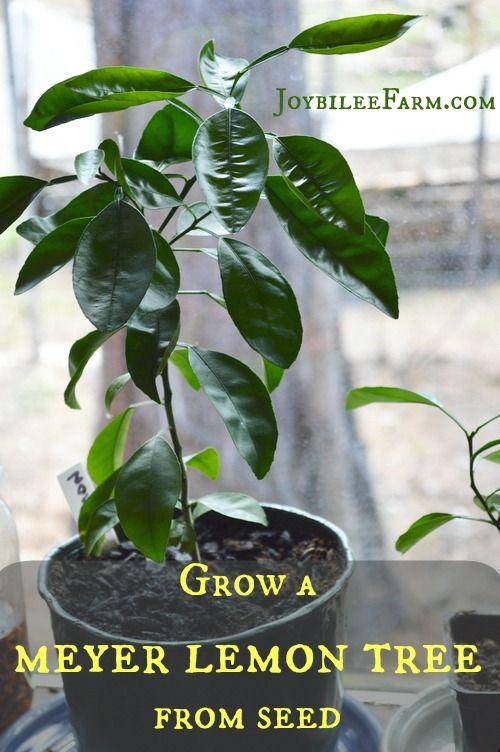 Grow A Meyer Lemon Tree From Seed Joybilee Farm Lemon Tree