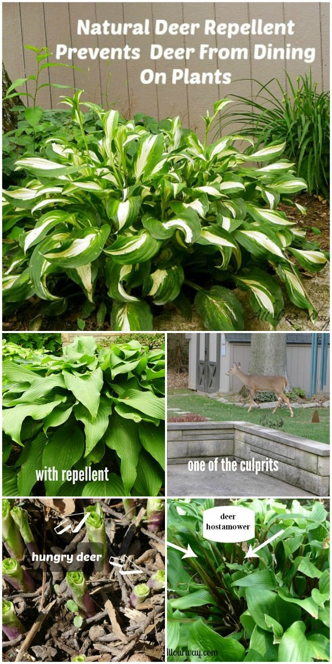 deer repellent for gardens. Battle With The Deer - A Natural Repellent For Gardens F