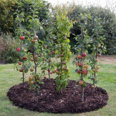 873e87cc76c774f4c03dfa2e625b96de - Columnar Fruit Trees For Small Gardens