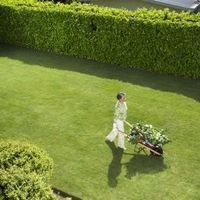 Privet Hedge Growth Rate | Fast growing hedge plants, Fast growing ...