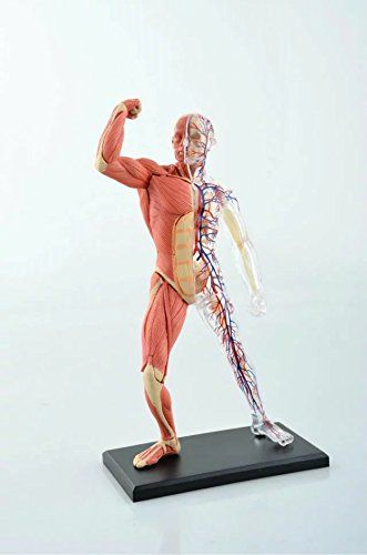 "aphrodite 4d 8"" 46 parts muscle & skeleton anatomy model medical,"